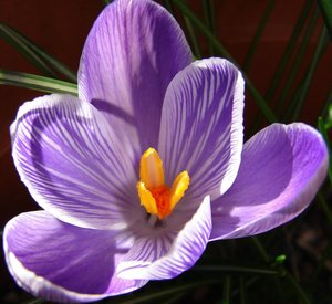 Crocus by Scotlandaddict