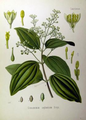 Cinnamomum_zeylanicum_(Köhler)