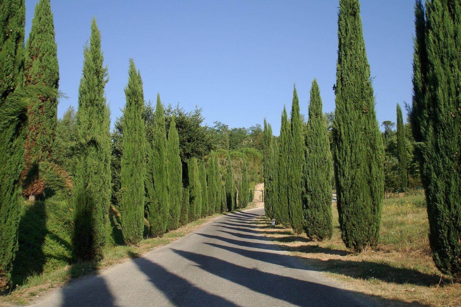 Cone Tree Cipreste Terra Dos Aromas