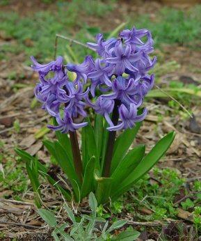 Hyacinthus_plant