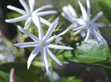 Jasmim-estrela LENHOSA