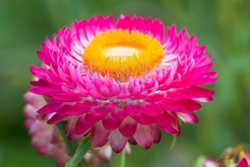 sementes-de-sempre-viva-helichrysum-bracteatum-contem-04g-852201-MLB20287960052_042015-F.jpg